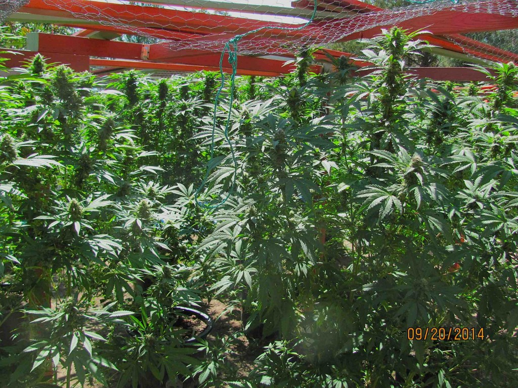 field of colas